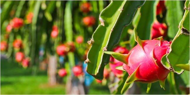 ilustrasi - budidaya buah merah