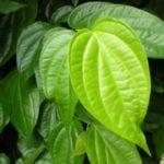 ilustrasi - manfaat daun sirih untuk kesehatan