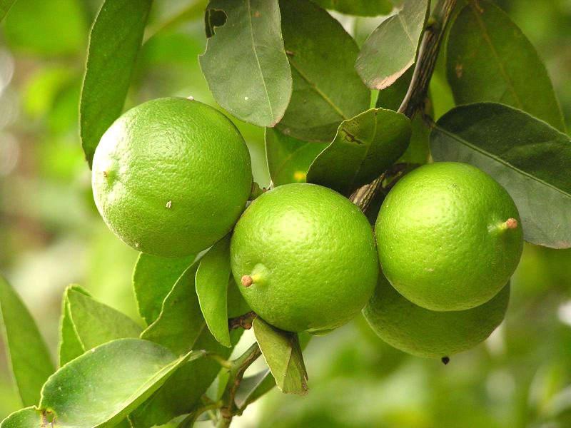 ilustrasi - menanam jeruk nipis