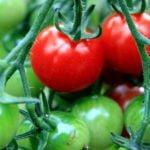 ilustrasi - budidaya tomat