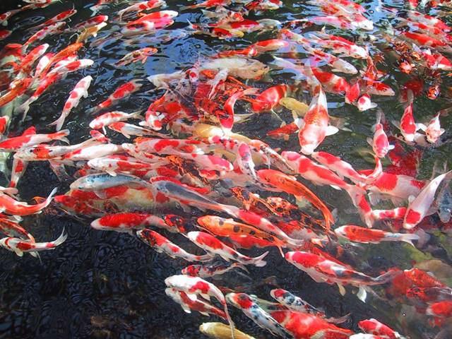 Ilustrasi - budidaya ikan koi