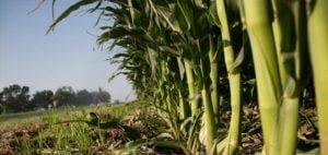 Kiat Budidaya Jagung Organik Hasil Panen Berlimpah