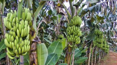 gambar - budidaya pisang