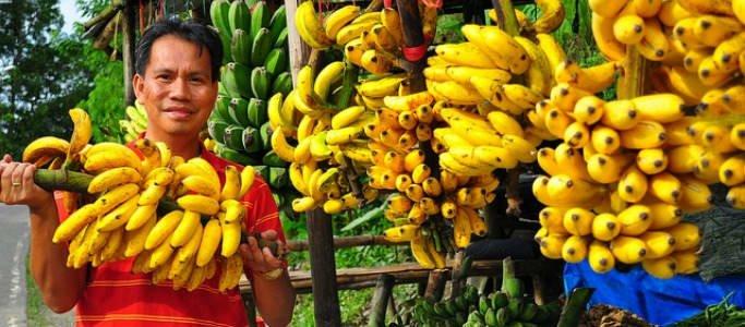 gambar - hasil panen buah pisang