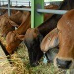 gambar - ternak sapi potong