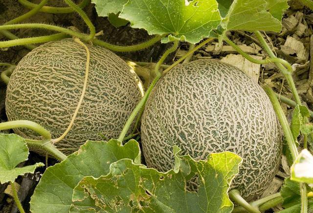 ilustrasi - Budidaya melon