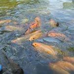 Cara Praktis Budidaya Ikan Mas