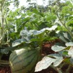 lustrasi - budidaya semangka
