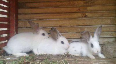 gambar - ternak kelinci
