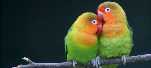 gambar - ternak lovebird
