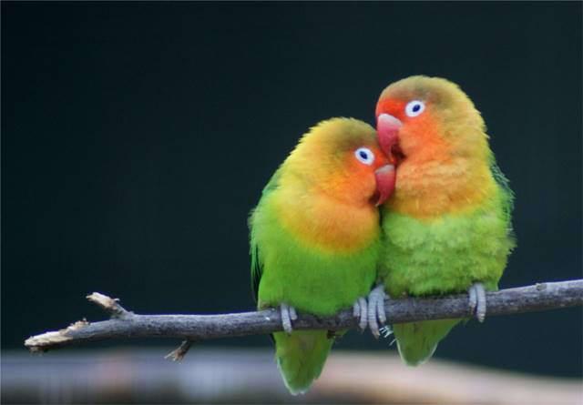 770+  Gambar Burung Lovebird Yang Cantik HD Paling Unik