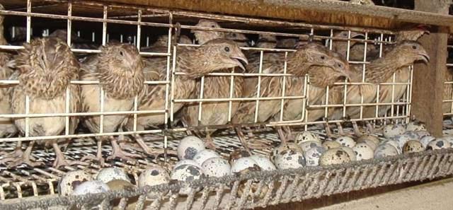 Cara Berternak Burung Puyuh