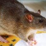 Cara Mengusir Tikus yang Ampuh Secara Alami