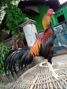 Kami Bongkar Rahasia Cara Ternak Ayam Bangkok