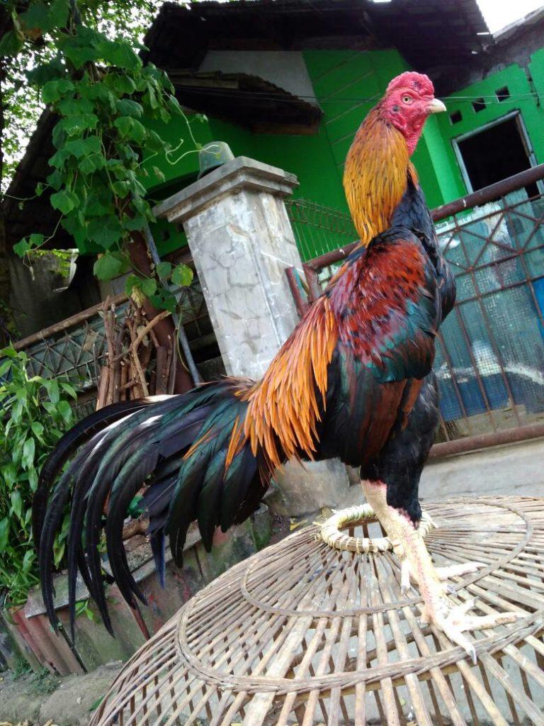 ayam-bangkok-petarung