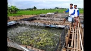 Rahasia Sukses Budidaya Ikan Lele Hasil Milyaran