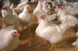 Rahasia Sukses Ternak Ayam Potong untuk Pemula