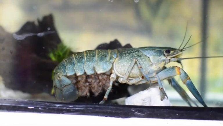 Rahasia budidaya lobster air tawar di kolam terpal Untung Miliaran